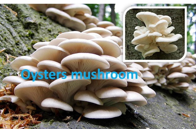Oysters Mushroom