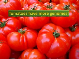Tomato has more genome than humans