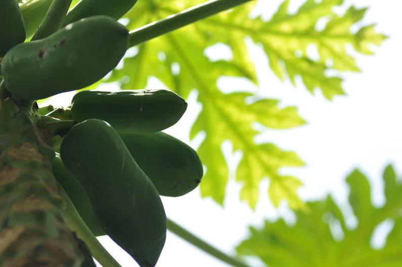 Raw papaya for good digestion & weight loss