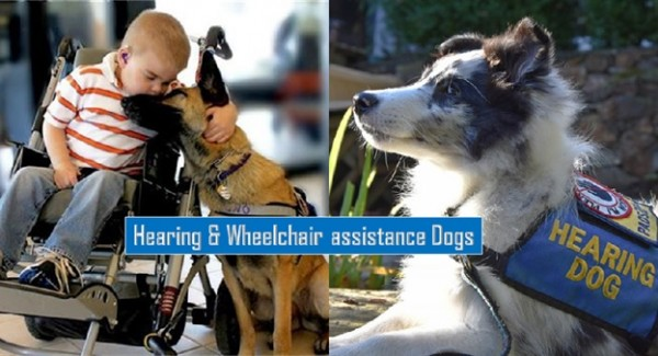 Hearing and Wheelchair Assistance Dogs