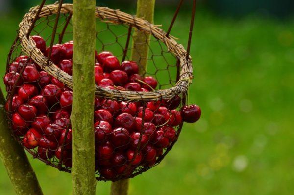 Cherry allergy