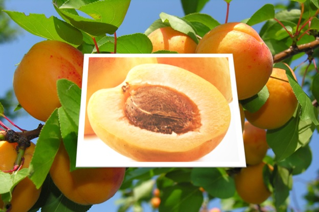 Poison in Apricot