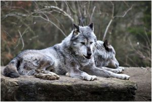 Story of two wolves