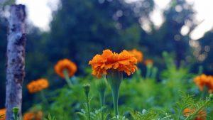 Marigold medicinal benefits