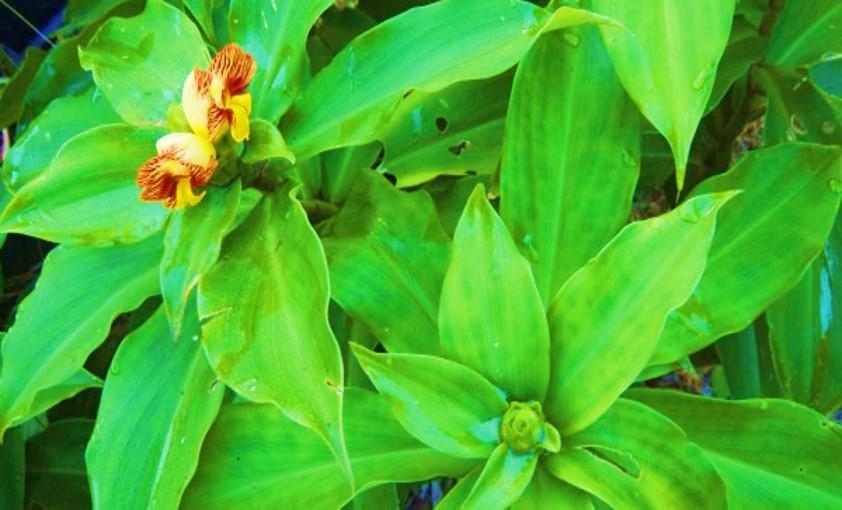 Insulin-plant-healthylife-werindia