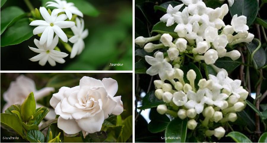 jasmine-gardenia-perfume-healthylife-werindia