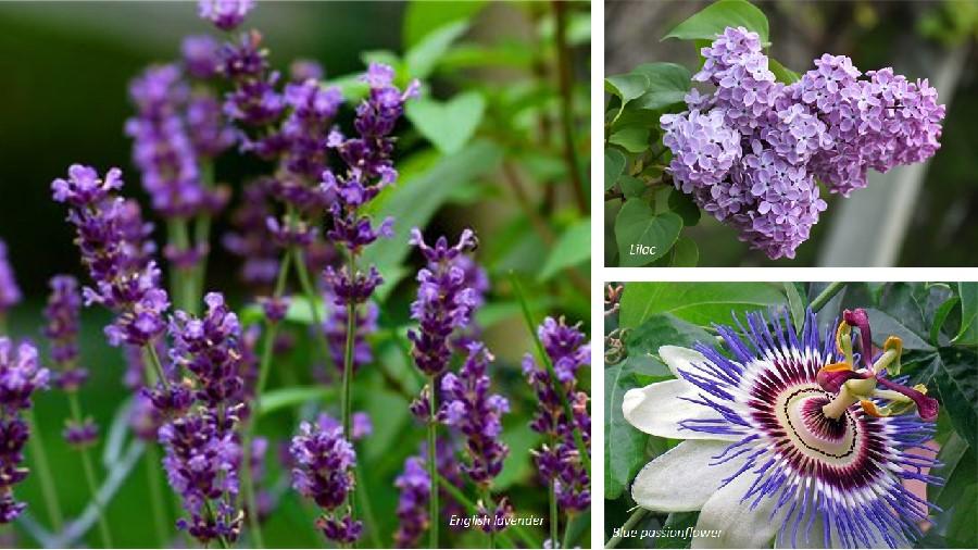Lavender lilac perfume