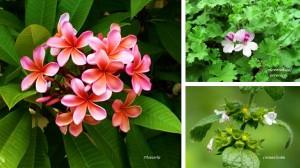Plumeria geranium scented plants