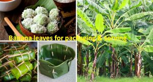 Banana leaves for food packaging