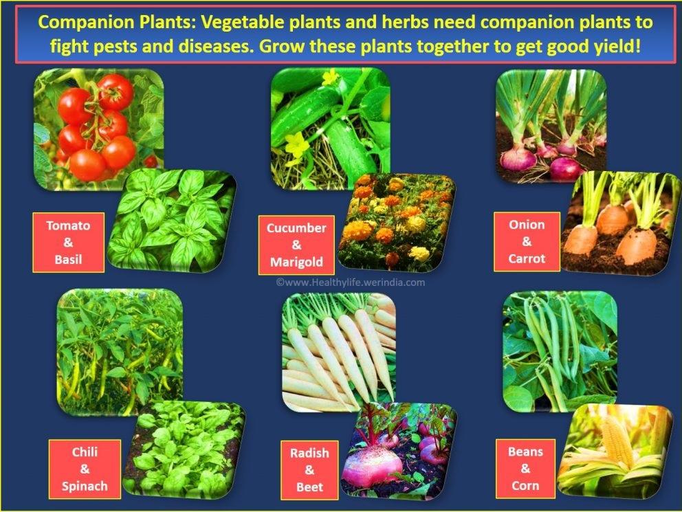 Companion plants garden