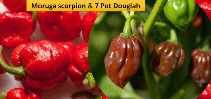 Moruga scorpion & 7 pot Douglah