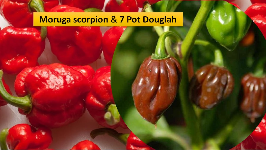 Moruga scorpion & 7 pot Douglah