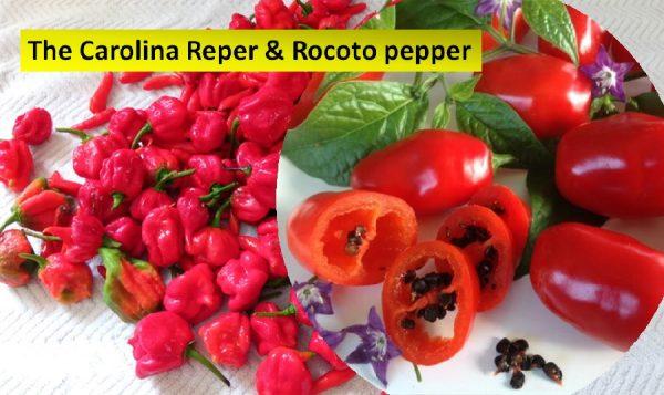 The Carolina Reper and Rocoto chilis