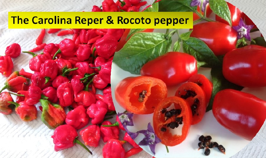 The Carolina Reper and Rocoto chilis