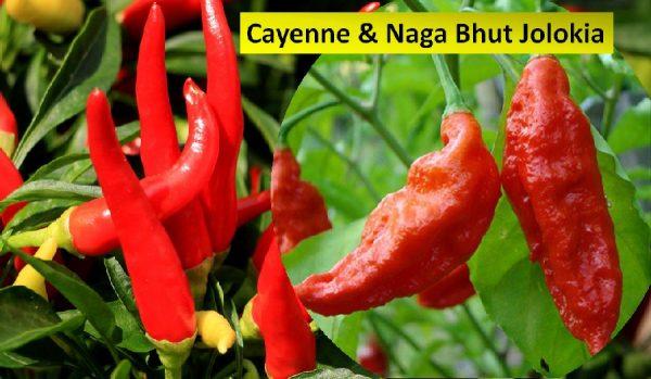 Cayenne pepper & Naga bhut chilis