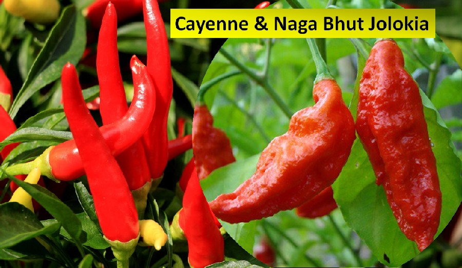 Cayenne pepper & Naga bhut chilis