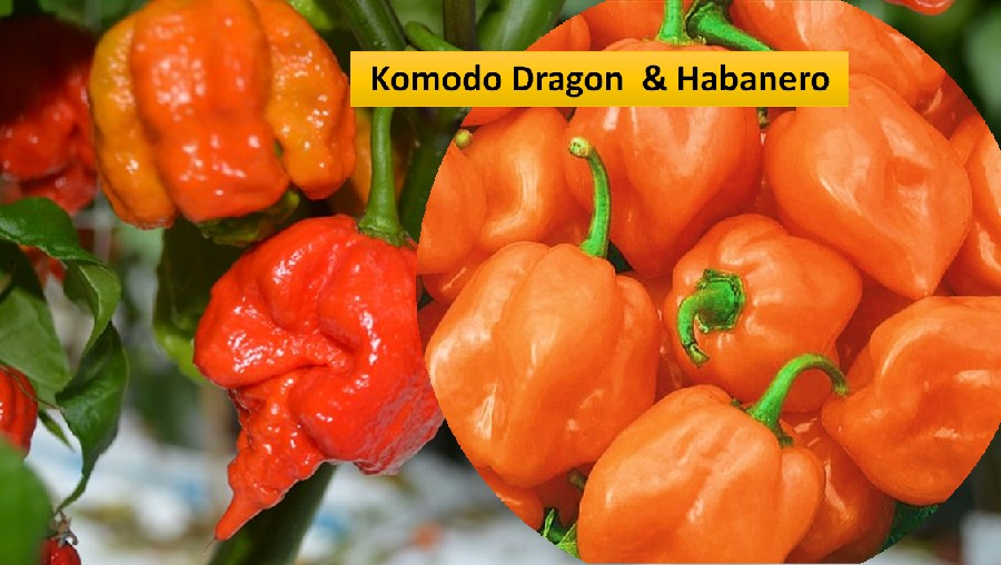 Komodo Dragon chili and Habanero