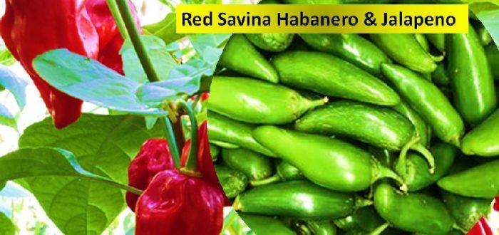 Red Savina Habanero & Jalapeno