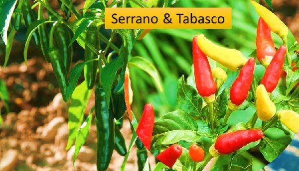 Serrano & Tabasco chilis