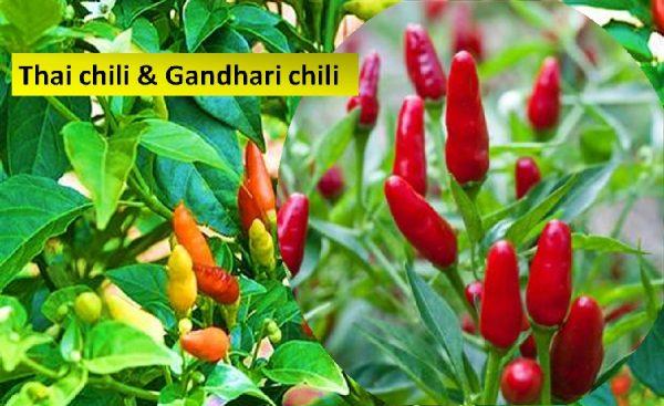 Thai and gandhari chilis