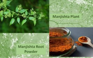 Manjishta powder