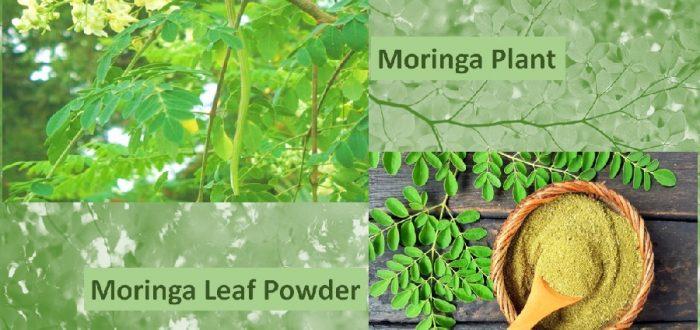 Moringa Powder benefits