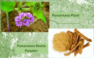 Punarnava root powder
