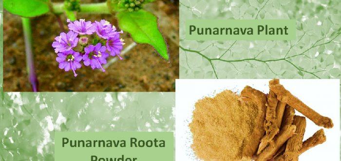 Punarnava root powder