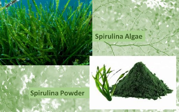 Spirulina powder benefits