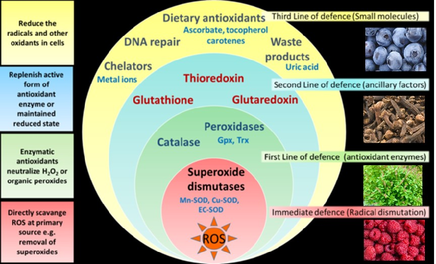 Role of antioxidants on free radicals