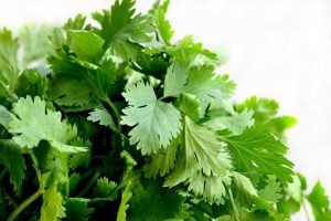 Cilantro plant benefits